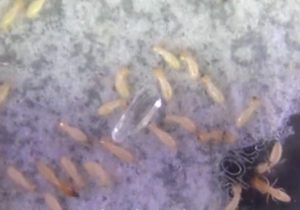Termites responding to dummy coating in royal pheromone