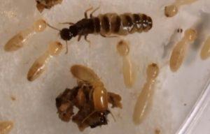 Termites responding to queen