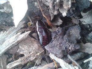 Shining cockroach in mulch