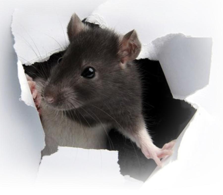 Rat tearing through paper