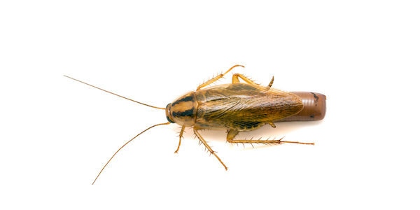 German cockroach with egg case