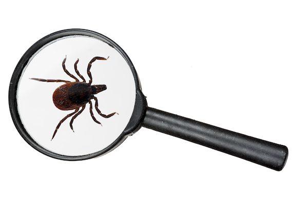 Deer tick under magnifying glass