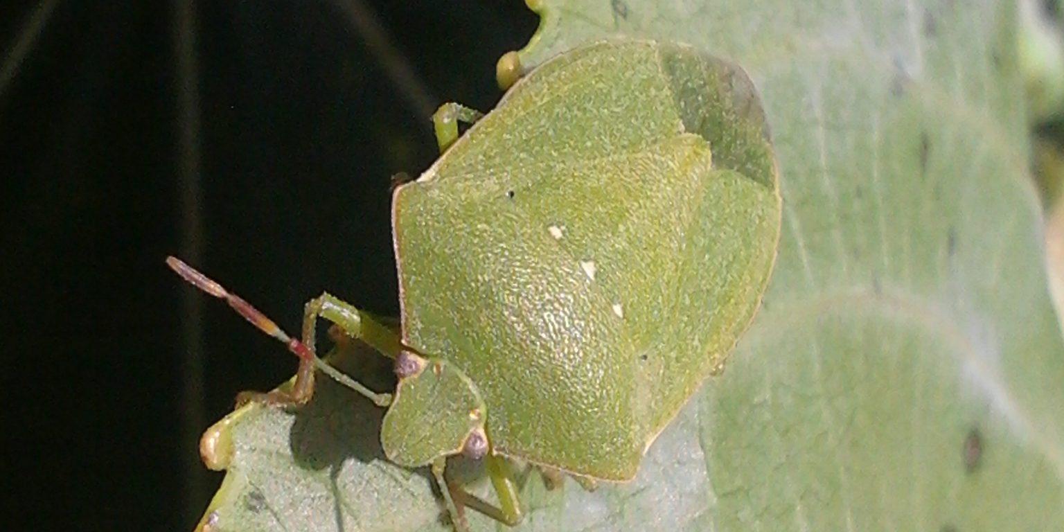 Green vegetable bug adult