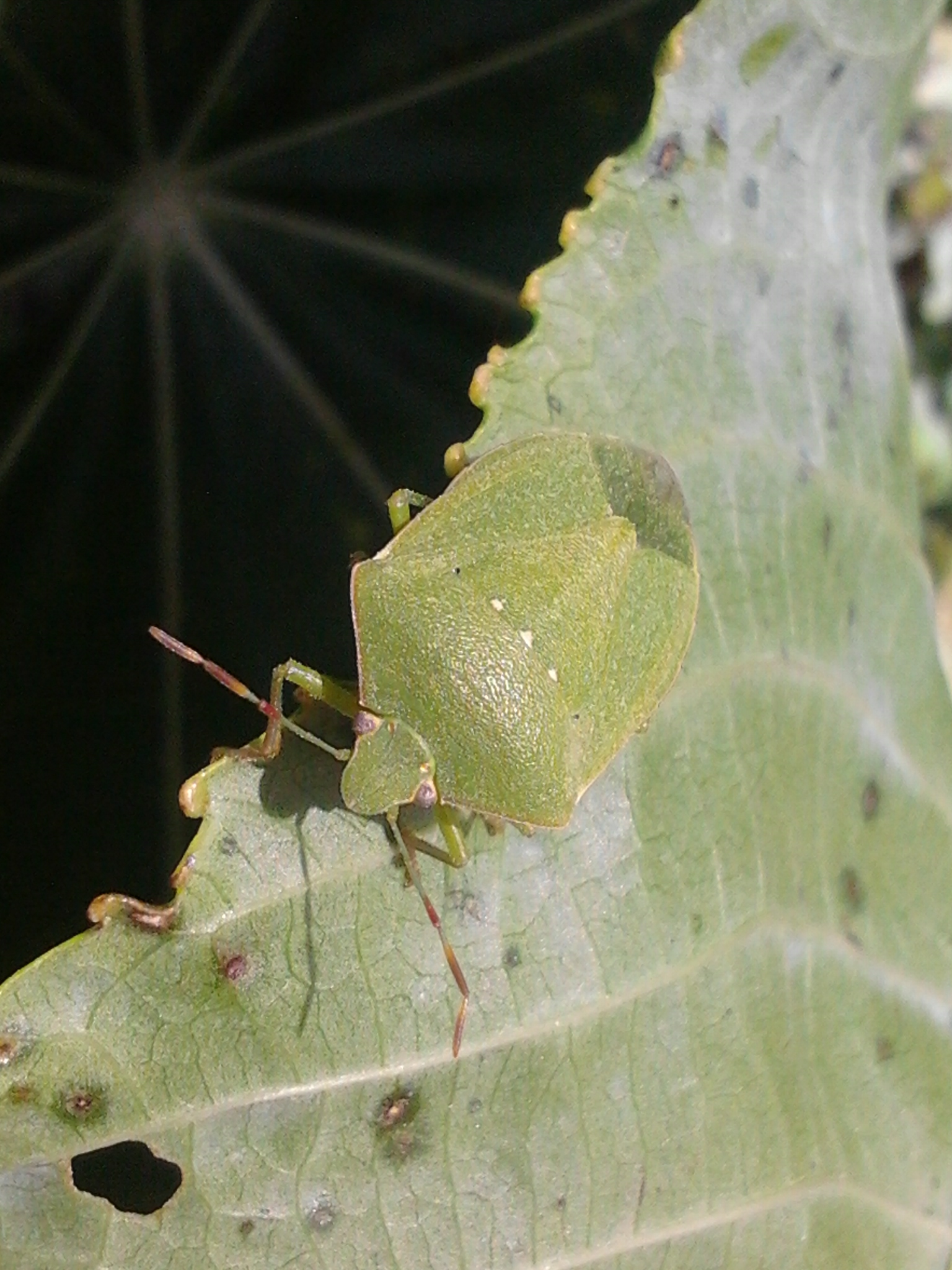 Green vegetable bug adult