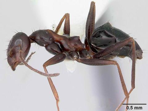 Browsing ant