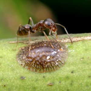 Ant and scale insect