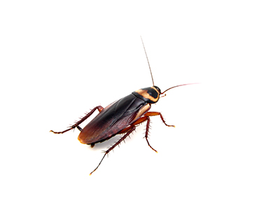 Australian cockroach image
