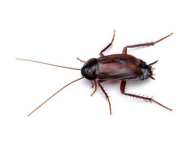 oriental cockroach image