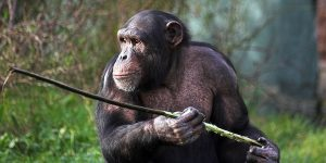 termite-fishing chimpanzee
