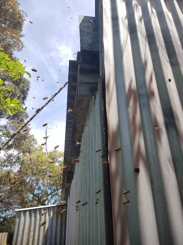 Bees entering nest in shed image