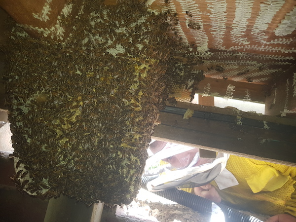 Bee nest in sub-floor half removed