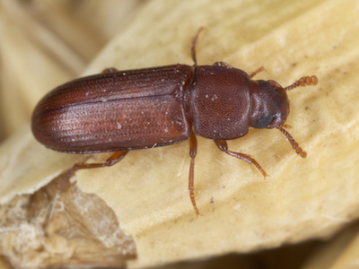 Flour beetle image