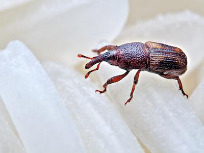 Rice weevil image