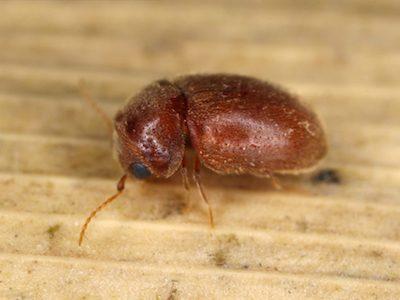 Cigarette beetle image