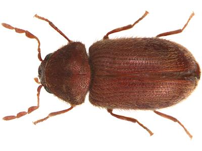 Drugstore beetle image
