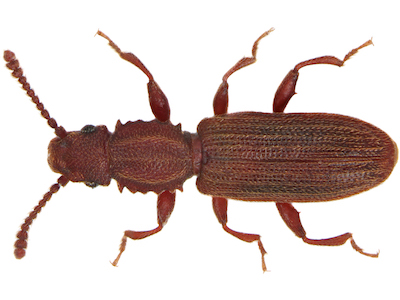 Sawtoothed grain beetle image