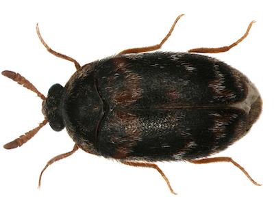 Warehouse beetle image
