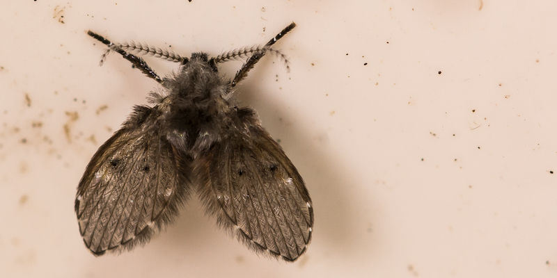 A close up of a drain fly in a drain pipe.