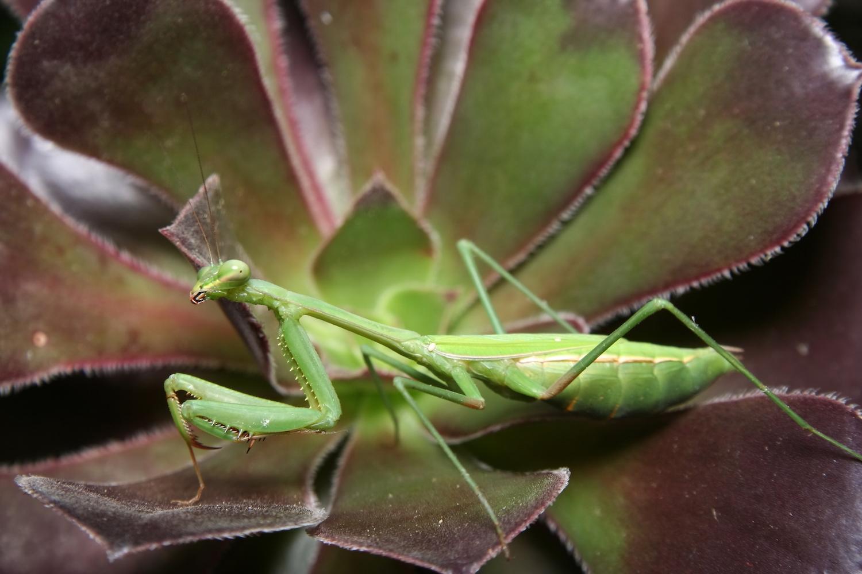 Praying mantis image